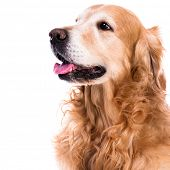 purebred golden retriever dog close-up  sitting on isolated white background
