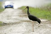 Black Stork Standing On Road