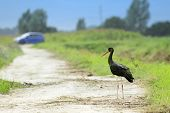 Black Stork Standing On Field Path