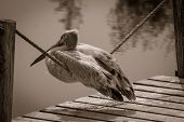 Pelican, Sitting On The Rope