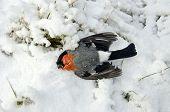 Dead Bird Bullfinch (pyrrhula Pyrrhula, Eurasian Bullfinch) In Winter Cold Time