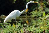 Great egret (Ardea alba), Nicaragua