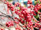 stock photo of winterberry  - Winterberry Ilex verticillata in Washington DC USA - JPG