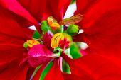 Macro of beautiful poinsettia close up