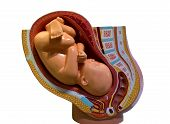 Baby In The Womb Model