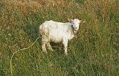 Dirty White Young Goat
