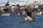 Canada Goose Stretching Its Wings Standing In A Winter River