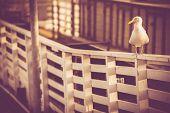 California Sea Gull