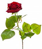 stock photo of single white rose  - Single dark red rose isolated on white background - JPG