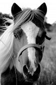 Miniature Paint Horse Stands Alert