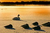 Swans and ducks on frozen lake.