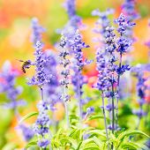 stock photo of salvia  - Blue salvia flower in natural garden by depth of field technics
