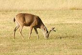 060609D100Blacktailed Deer088