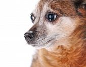 a cute but sad senior chihuahua isolated on a white background with tears in his eyes