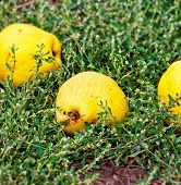 Quince In Green Grass