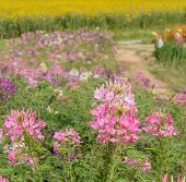 Cleome Or Spider Flower Field