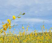 Crotalaria Flower Field