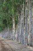 Row Of Pine Tree