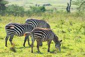 Zebras In Savanna