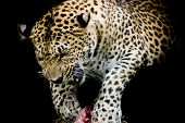 foto of sundarbans  - Leopard portrait animal wildlife color black background - JPG