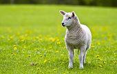 Curious Little Lamb