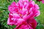 bright - red terry peony
