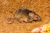 House Mouse (mus Musculus) Running