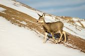stock photo of mule  - Mule deer doe in the winter in the Badlands National Park of South Dakota - JPG