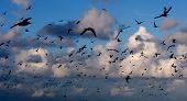 Flock Silhoutte