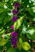 stock photo of mulberry  - A String of Beautiful Bright Purple Berries - JPG