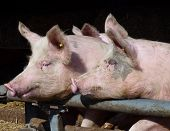 image of farrow  - Young chattering pigs on the gate of their stable waiting for food - JPG