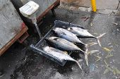 stock photo of yellowfin tuna  - A view of four freshly caught tuna - JPG