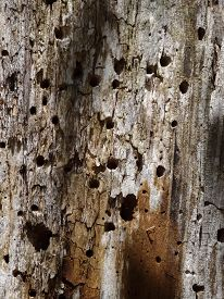 picture of woodpecker  - A long weathered tree trunk is covered with woodpecker holes. ** Note: Soft Focus at 100%, best at smaller sizes - JPG