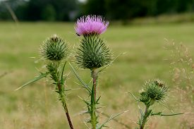 picture of scottish thistle  - Pink thistle blossoms with nice green background - JPG
