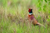 image of pheasant  - Pheasant in the wild in a clearing - JPG