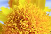 stock photo of marigold  - Macro shot of marigold flower showing natural pattern - JPG