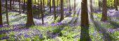 image of wildflower  - bluebell spring wildflowers in Haller bos - JPG