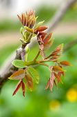 stock photo of walnut-tree  - young leaves of the walnut tree on a green background - JPG