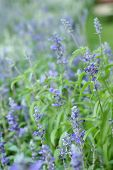 foto of salvia  - Purple salvia flowers at the nature  - JPG