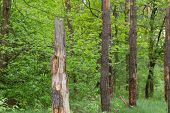 picture of rotten  - Broken trunk of a pine in the forest - JPG