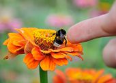 image of zinnias  - Bumblebee on the orange flower of zinnia and finger stoking the insect - JPG