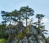 stock photo of pinus  - Pinus nigra banatica on mountains peak in Romania - JPG