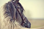 pic of stallion  - Portrait of a sports stallion in a bridle - JPG