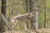 pic of coy  - A lone Coyote in a forest environment - JPG