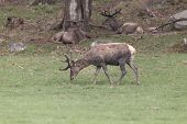 foto of jousting  - A lone male deer feeding in a field - JPG