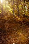 stock photo of fall trees  - Sunbeams trough autumnal fall trees in park - JPG