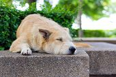 stock photo of forlorn  - Brown dog lying and sleeping in park - JPG