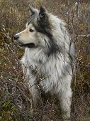 picture of wolf-dog  - Similar to the northern wolf dog stands in the middle of the autumn tundra - JPG