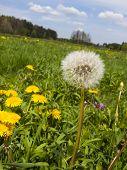 image of may-flower  - meadow in May full flowering yellow dandelions as a background - JPG
