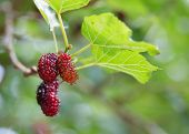 foto of mulberry  - red mulberry fruit on tree - JPG